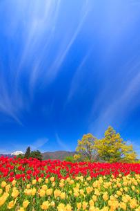 チューリップ畑と常念岳と太陽の光芒の写真素材 [FYI02467586]