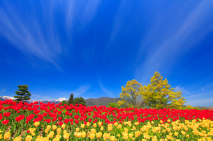 チューリップ畑と常念岳と太陽の光芒の写真素材 [FYI02467911]