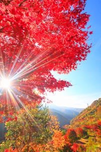 紅葉のモミジの樹林と朝の木もれ日の光芒と不動ヶ峰方向の山並みの写真素材 [FYI02468066]