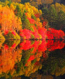 水鏡のドウダンツツジなどの紅葉の樹林の写真素材 [FYI02468184]