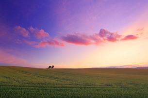 親子の木と木立と小麦畑と夕焼けの写真素材 [FYI02468564]