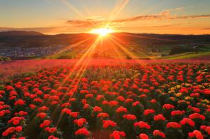 マリーゴールドとラベンダーの花畑と上富良野町俯瞰と夕日の写真素材 [FYI02468603]