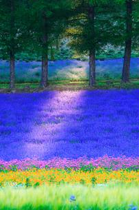 ラベンダーと小町草などの花畑と木もれ日,夕景の写真素材 [FYI02468629]