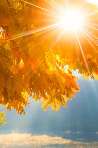黄金アカシアの紅葉と朝霧の聖湖と朝日の木もれ日の光芒の写真素材 [FYI02468841]