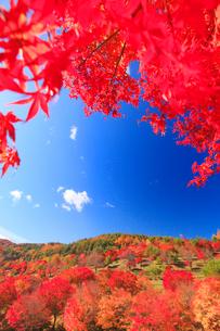 紅葉のモミジの林の写真素材 [FYI02468904]