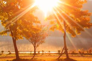 黄金アカシアの紅葉と聖湖と朝日の木もれ日の光芒の写真素材 [FYI02468946]