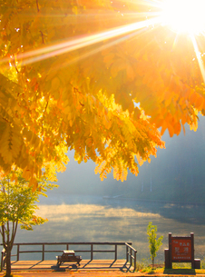 黄金アカシアの紅葉と聖湖と朝日の木もれ日の光芒の写真素材 [FYI02469008]