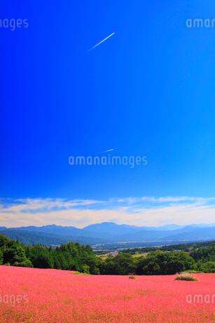 花咲く赤そば畑と飛行機雲と仙丈ヶ岳など南アルプスの写真素材 [FYI02469177]