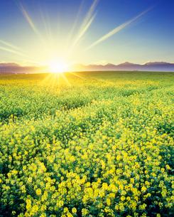 菜の花畑と十勝連峰と朝日の光芒の写真素材 [FYI02469437]