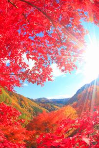 紅葉のモミジの林と太陽の光芒と萱野高原方向の山並みの写真素材 [FYI02469735]
