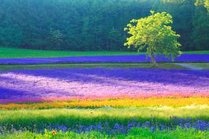 ラベンダーなどの花畑と木立,夕景の写真素材 [FYI02469786]