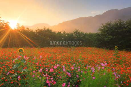 ヒマワリとコスモス畑と朝日の木もれ日の光芒の写真素材 [FYI02470008]