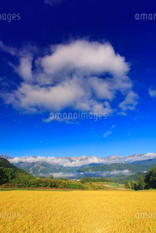 稲穂実る田園と白馬岳など北アルプスの写真素材 [FYI02470126]