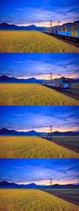 別所線の電車と稲穂実る田園,夕景の写真素材 [FYI02470158]