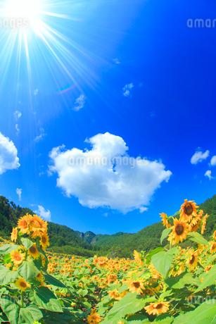 ヒマワリ畑と独鈷山と太陽の光芒の写真素材 [FYI02470264]