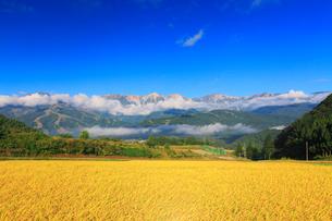 稲穂実る田園と白馬岳など北アルプスの写真素材 [FYI02471143]