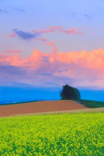 菜の花畑と小麦畑と木立と夕焼け雲の写真素材 [FYI02471210]