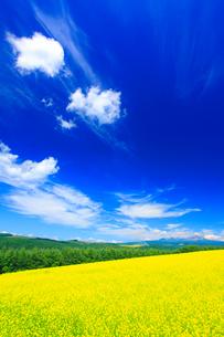 菜の花畑と大雪山の写真素材 [FYI02471319]