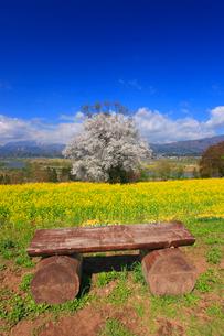 菜の花畑とウスズミザクラと丸太の椅子の写真素材 [FYI02471548]