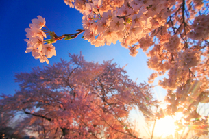 ソメイヨシノと朝日の木もれ日の写真素材 [FYI02471729]
