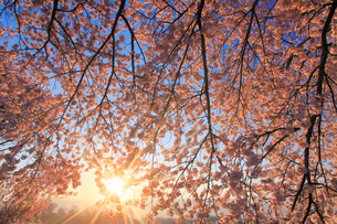 ソメイヨシノと朝日の木もれ日の写真素材 [FYI02472110]