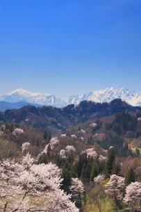 山桜と蓮華岳と爺ヶ岳の写真素材 [FYI02472395]