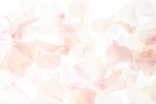 一面の淡いピンクのスイートピーの花びらの写真素材 [FYI02472949]