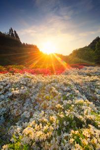 ツツジと朝日の光芒の写真素材 [FYI02472988]