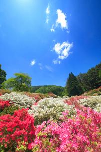 ツツジと女神岳と新緑の木立の写真素材 [FYI02473468]