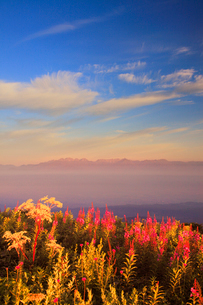 朝日に染まるヤナギランとシシウドと穂高連峰と槍ヶ岳の山並みの写真素材 [FYI02474482]