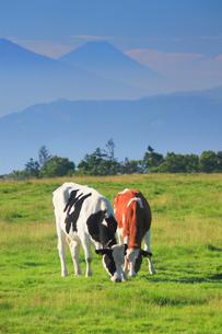 ホルスタインとジャージー牛のペアと富士山の写真素材 [FYI02474584]