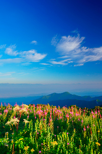 朝のヤナギランとシシウドと鹿島槍ヶ岳など北アルプスの山並みの写真素材 [FYI02474738]