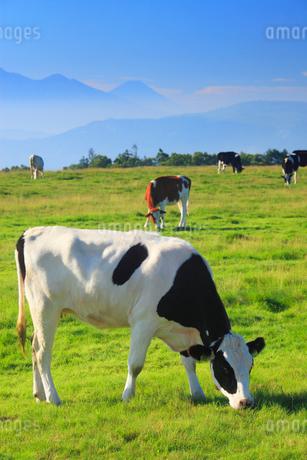 ホルスタインとジャージー牛と富士山の写真素材 [FYI02475083]