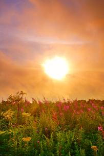 思い出の丘のヤナギランとシシウドと夕日と夕霧の写真素材 [FYI02475306]