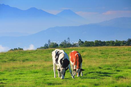 ホルスタインとジャージー牛のペアと富士山の写真素材 [FYI02475346]