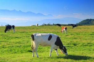 ホルスタインとジャージー牛と八ケ岳と富士山の写真素材 [FYI02475388]