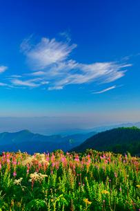 朝のヤナギランとシシウドと白馬岳など北アルプスの山並みの写真素材 [FYI02475535]
