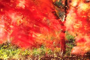 風に揺れるモミジの写真素材 [FYI02477297]