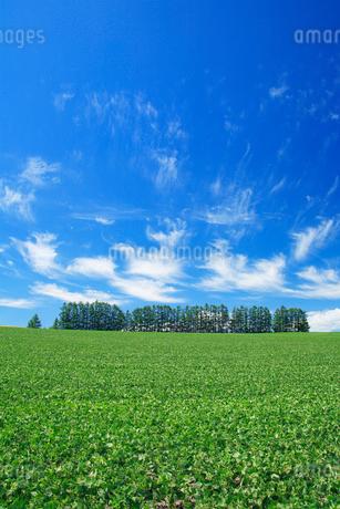 小豆畑とカラマツ並木の写真素材 [FYI02477615]
