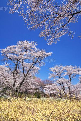 ソメイヨシノの林の写真素材 [FYI02478525]