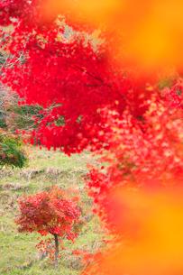 紅葉のモミジ木立の写真素材 [FYI02478737]