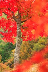 紅葉のモミジ木立の写真素材 [FYI02478998]