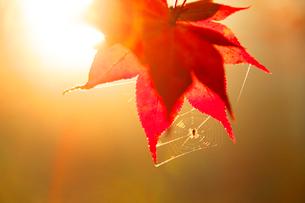 紅葉のモミジとクモの巣 夕景の写真素材 [FYI02479048]