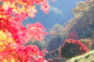 紅葉のモミジ木立の写真素材 [FYI02479339]