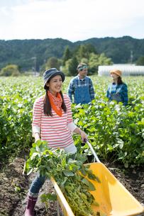 畑で枝豆を収穫する娘と両親の写真素材 [FYI02483934]