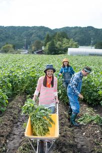 畑で枝豆を収穫する娘と両親の写真素材 [FYI02484008]