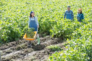 畑で枝豆を収穫する娘と両親の写真素材 [FYI02484059]
