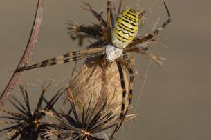 卵のうを守るジョロウグモの写真素材 [FYI02487582]