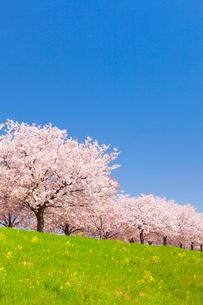 サクラ並木と青空の写真素材 [FYI02490292]