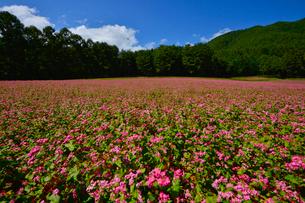 赤そば畑(タカネルビー)の写真素材 [FYI02490985]